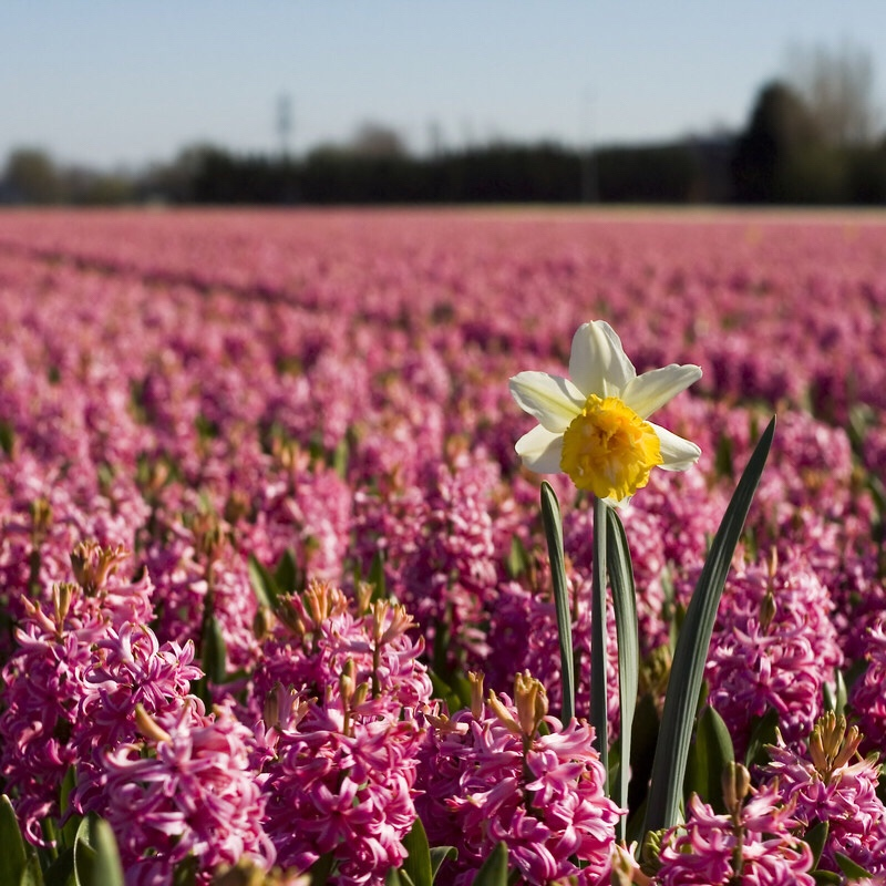Daffidil in a field of hyacinths.
