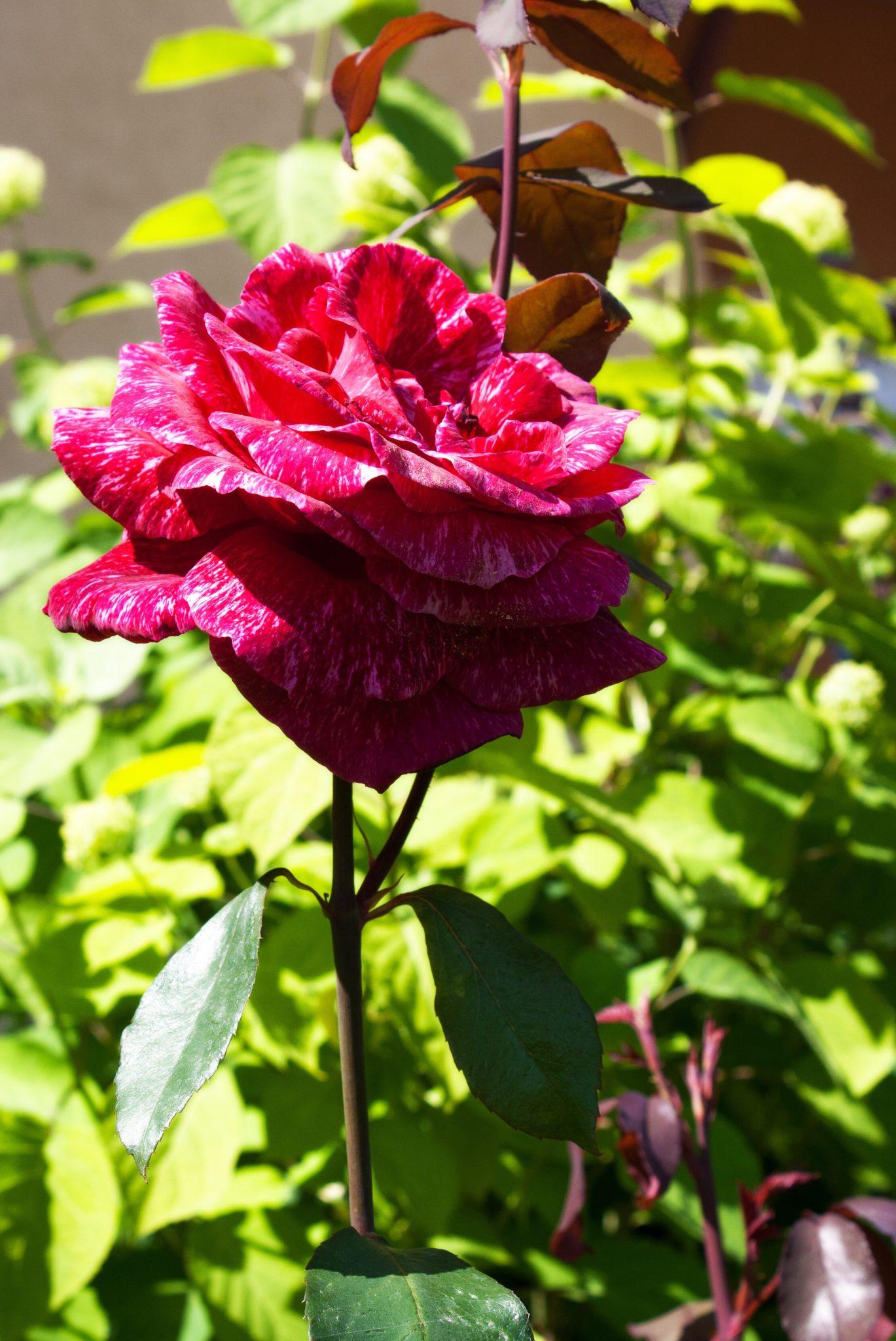 Red rose blooming.
