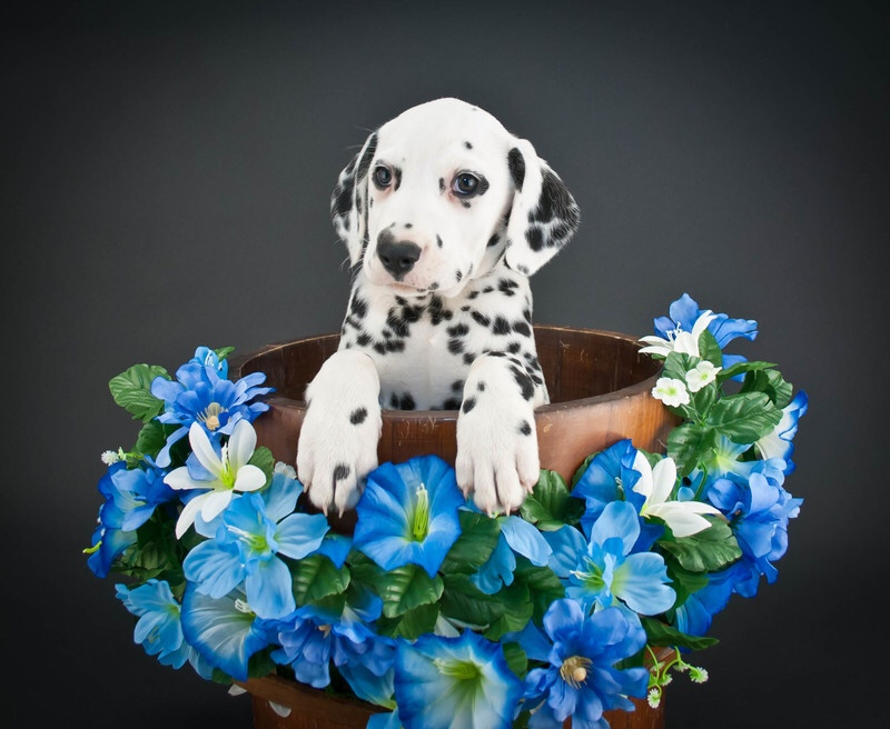 A cute dalmatian puppy surrounded by flowers